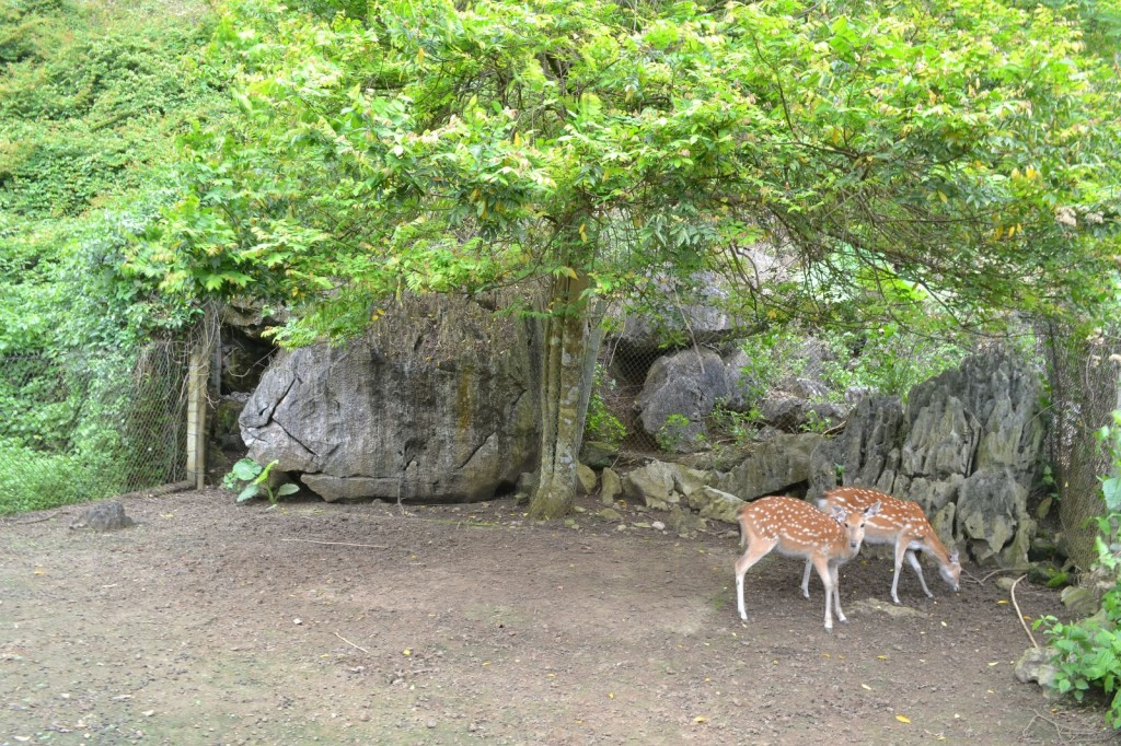 A Couple of Deer in Cat Ba National Park