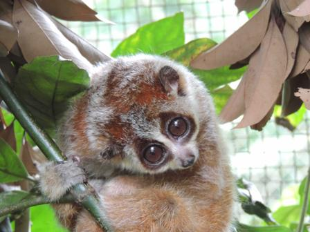 A pygmy slow loris at the Endangered Primate Rescue Center in Cuc Phuong National Park, Vietnam.