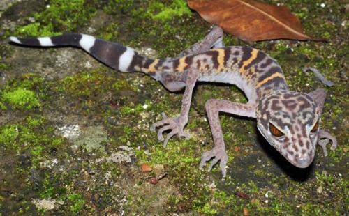 A species of leopard gecko (Goniurosaurus catbaensis), found exclusively in Cat Ba Island national park in northern coastal Vietnam