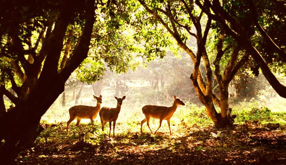 A held of deer in Cuc Phuong National Park, Vietnam