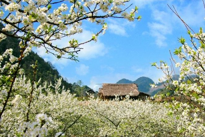 Ban flowers begins to blossom, coloring the mountains in white in 2nd lunar month