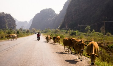The cows in Route 12, Tha Khaek