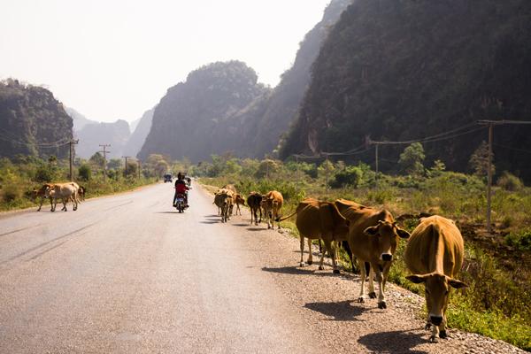 The cows in Route 12, Tha Khaek