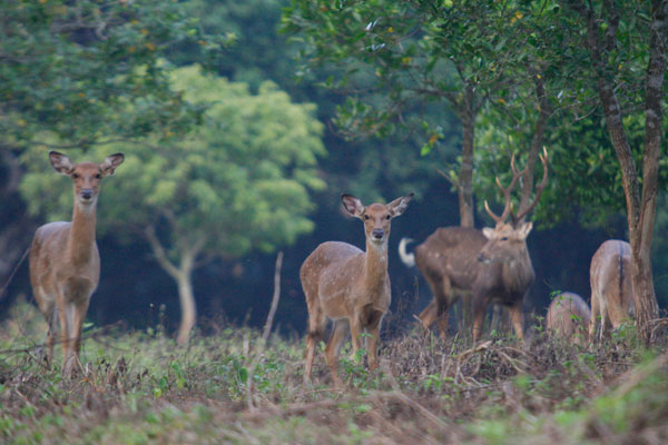 A herd of Deer in Cuc Phuong National Nark