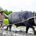 Foreign tourist experience farming activities in Hoi An