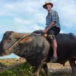 Foreign tourist take a water buffalo ride near the rice farm