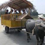 Hop on a Buffalo Pulling Cart to discover the village and farming life on your way
