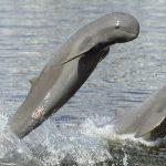 Irrawaddy dolphins