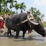 Ploughing and raking with buffalo on paddy field