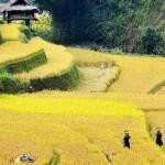 Rice paddies in northern Vietnam
