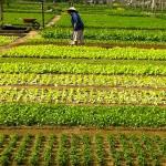 Tra Que Vegetable Gardens