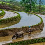a local with his buffalo in the rice terrace