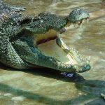 crocodile at nam cat tien national park