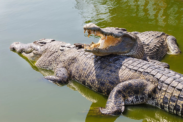 nam cat tien national park Crocodile