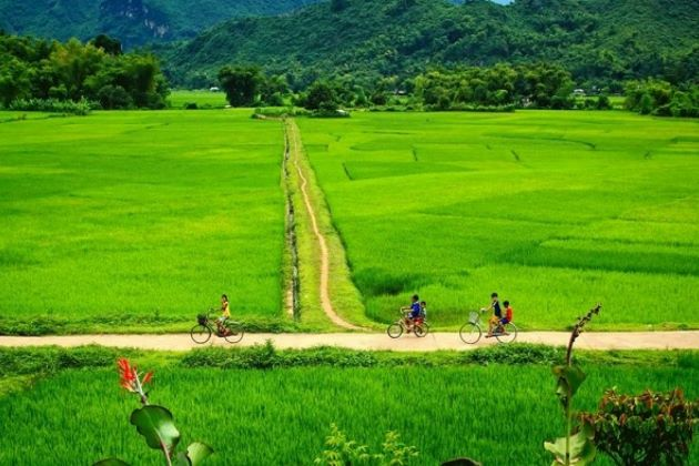 rice field in mai chau valley