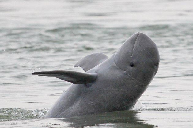 see active Irrawaddy Dolphins in cambodia