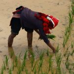 Lady from the Red Dao planting rice in Giang Ta Chai Village
