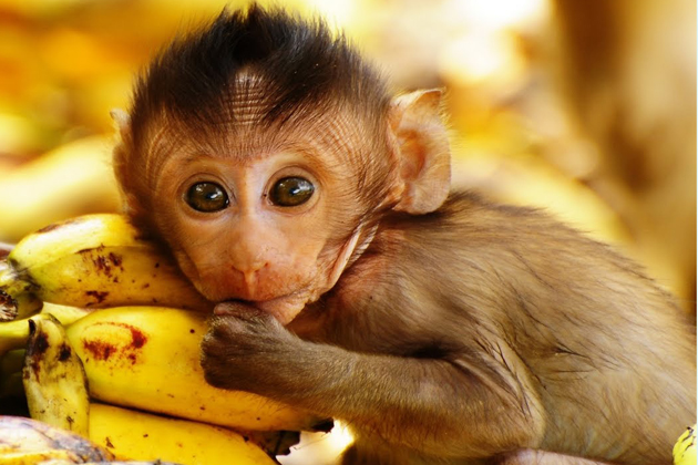 Vietnamese Zodiac Animals - Monkey
