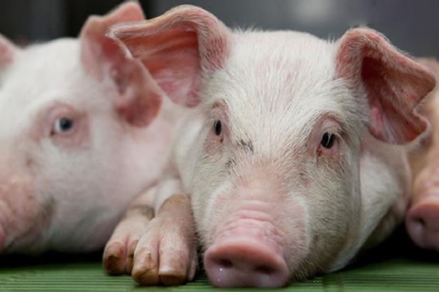 Vietnamese Zodiac Animals - Pig