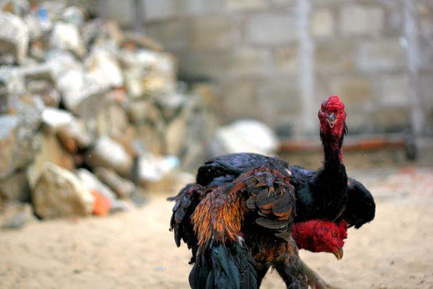 a vietnam fighting cock