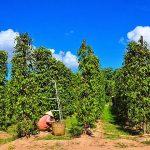 phu quoc pepper farm north phu quoc