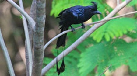 the drongo and the crow