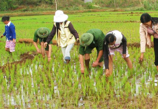 The farmer growing rice on the fieldsThe farmer growing rice on the fields