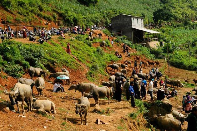 Water buffalos for sale in Can Cau Market