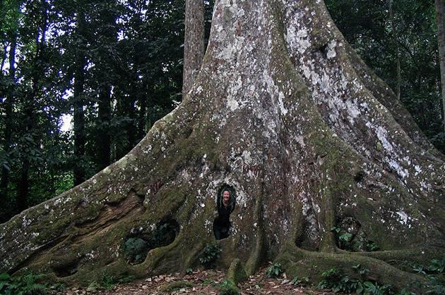 cuc phuong national park giant tree