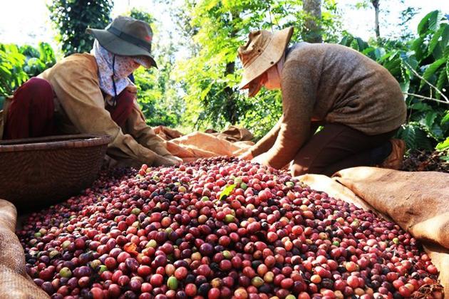 paradise of coffee vietnam facts