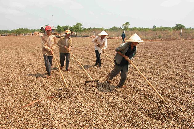vietnam is the world largest cashew nuts exporter vietnam facts