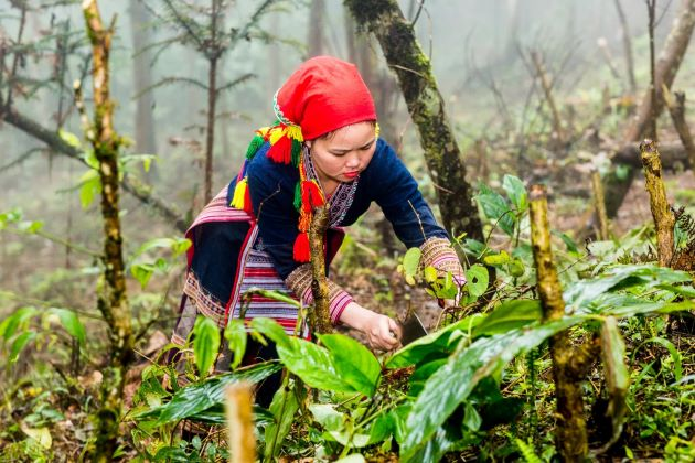 harvest herbs in sapa