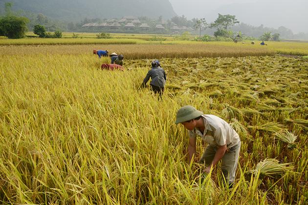 Vietnamese farmers in harvest days