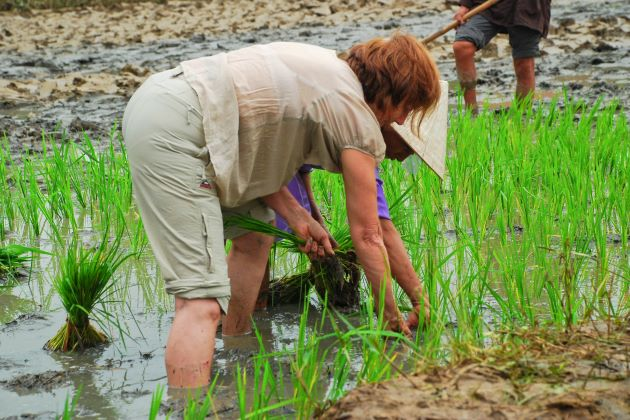 plant rice on hoi an farming tour