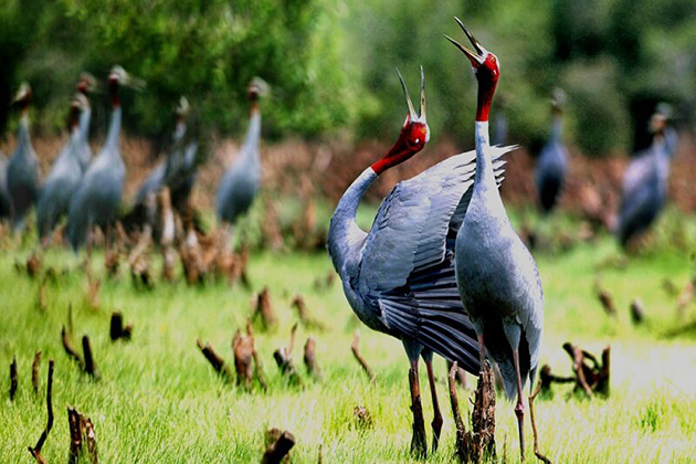 Sarus cranes in U Minh National Park