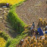 harvest rice at hoang su phi