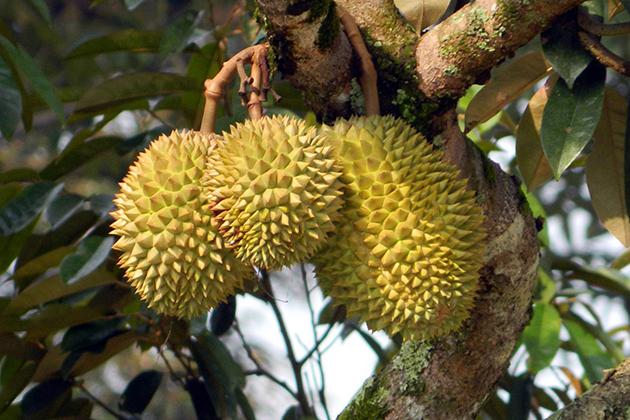 mekong delta fruit orchard