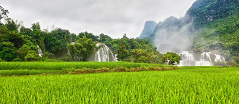 rice field near ban gioc waterfall