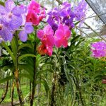 orchid farm in bangkok