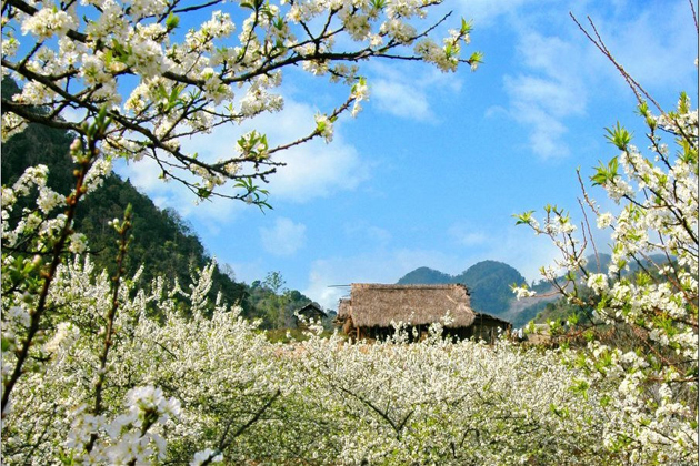 mai-chau-of-blossomed-flowers-mai-chau-tours