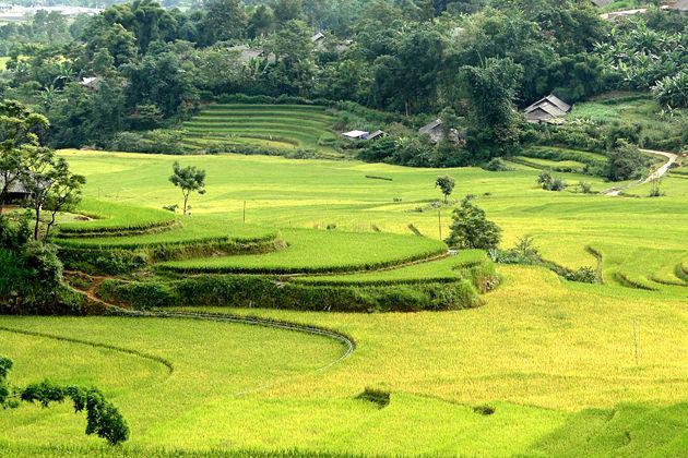 Lai Chau rice field