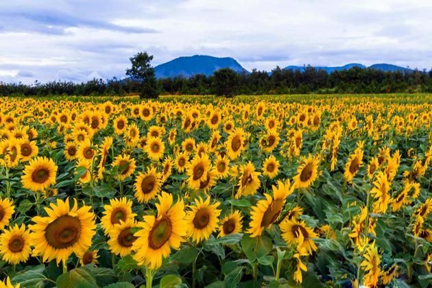 sunflower in nghe an in november