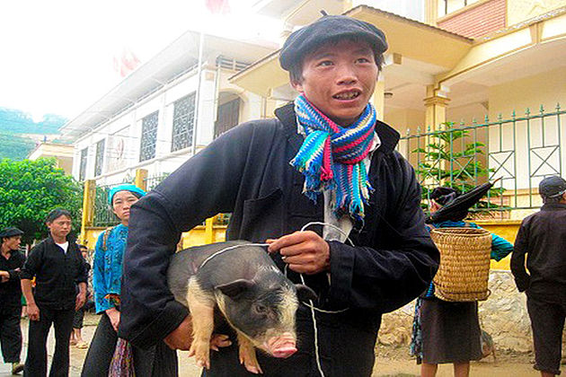 the Pig Carried under the Armpit lai chau