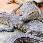 Crocodile Farm in mekong delta