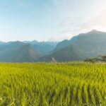green rice field in sapa
