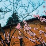 see blossom flowers in ha giang travel and vietnam adventure tour