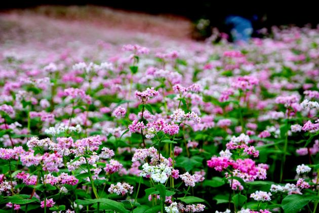 flowers at ha giang tours from hanoi