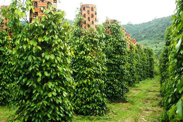 visit pepper farm for tours in Phu Quoc