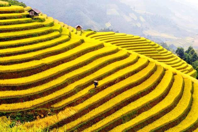 visit the ripen rice season on ha giang day trips